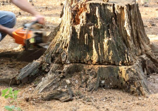 Stump Removal-West Miami FL Tree Trimming and Stump Grinding Services-We Offer Tree Trimming Services, Tree Removal, Tree Pruning, Tree Cutting, Residential and Commercial Tree Trimming Services, Storm Damage, Emergency Tree Removal, Land Clearing, Tree Companies, Tree Care Service, Stump Grinding, and we're the Best Tree Trimming Company Near You Guaranteed!